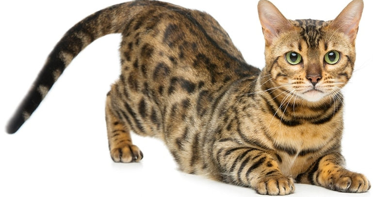 Bengal Cat Siberian Cat Funny Car Stickers