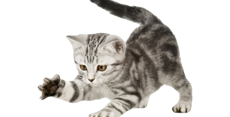 American Shorthair Cat Kitten Scratching