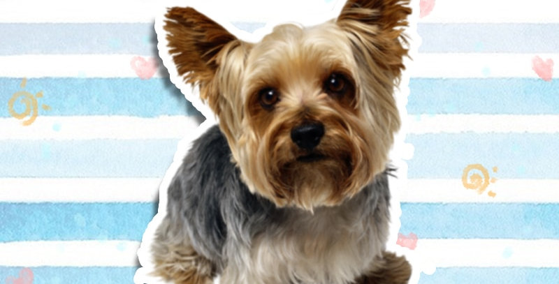 Creative Yorkshire Terrier Lovely Pet Dog Car Sticker
