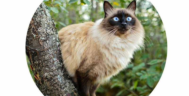 Balinese Cat Fine Car Stickers Waterproof Decal Personality