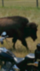 buffalo and bike.jpg