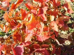 Vilkābeles sēklaudži rudenī
