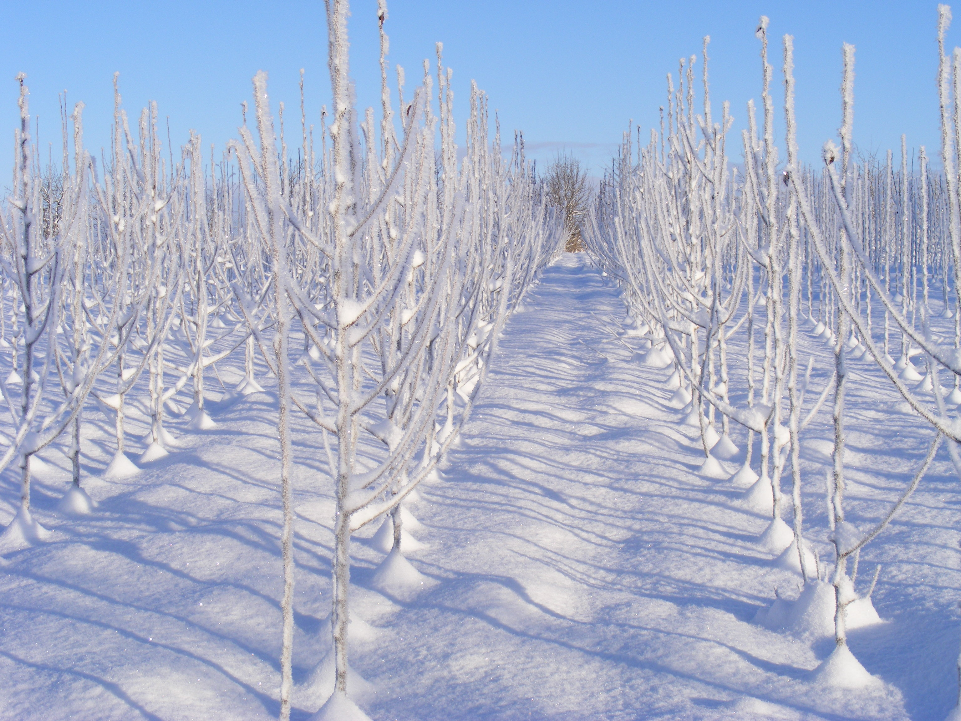Augļu koku stādi