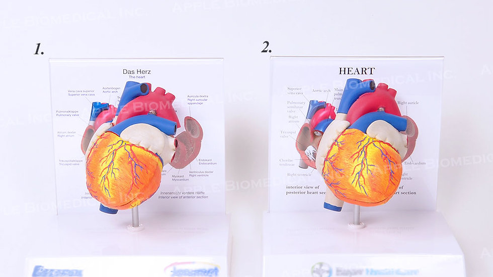 Anatomical human heart model with openable chamber