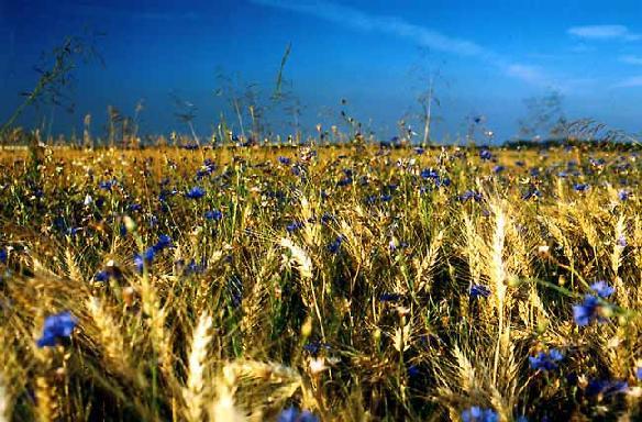 Пшеница и васильки