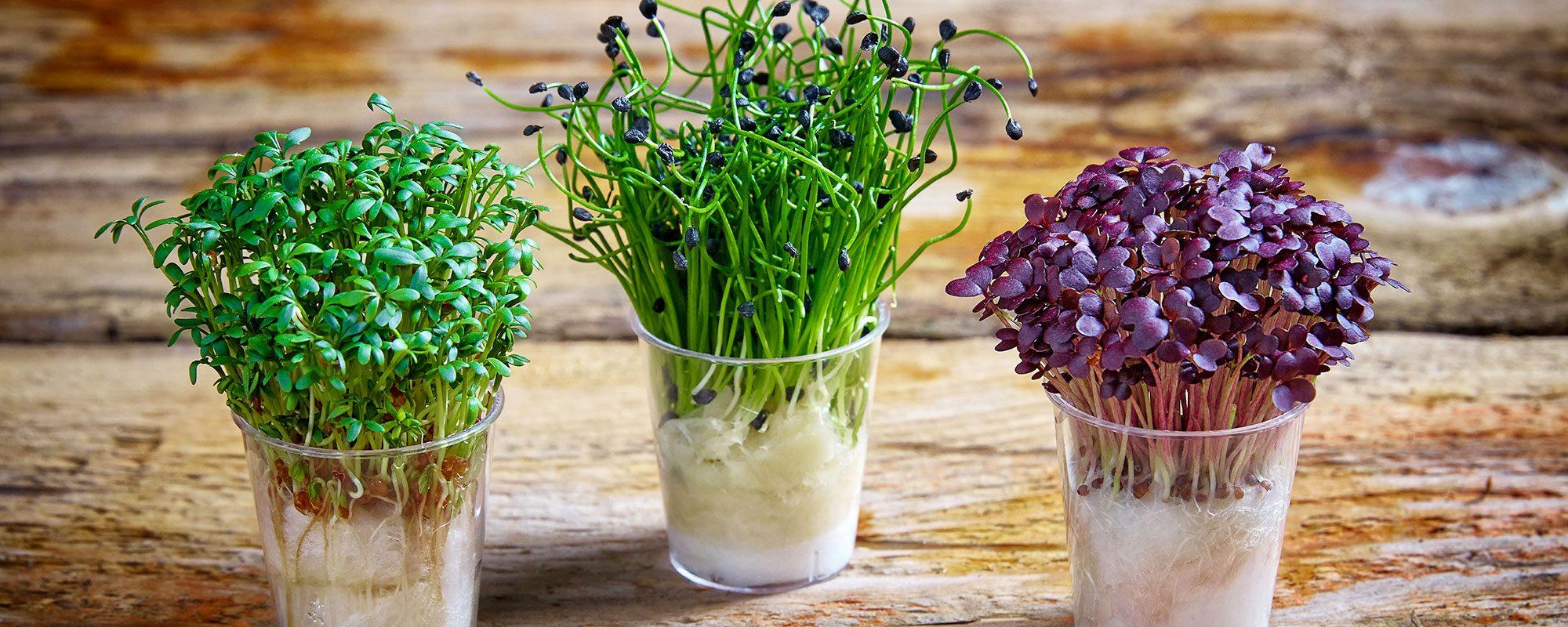 how-to-grow-cress-banner-nj3z97hx2ihvz55