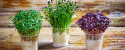 how-to-grow-cress-banner-nj3z97hx2ihvz55