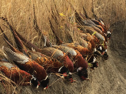 Pheasant Packages: South Fork Huntin