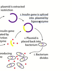 Insulin production explained.mp4