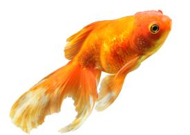 water---goldfish.png