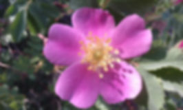 single wild rose 2018.jpg