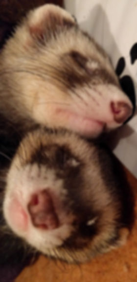 Jack and Victor, Ferrets, Scottish Ferrets