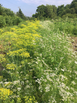 Dill and Coriander Flowers for the Pollinators and for Seed