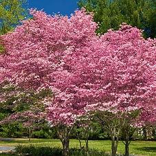 pink-flowering-dogwood-2-600x600.jpg