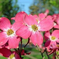 red-flowering-dogwood-flowers-800x800.jp