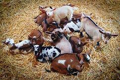 Goat_Pile-LG1.jpg