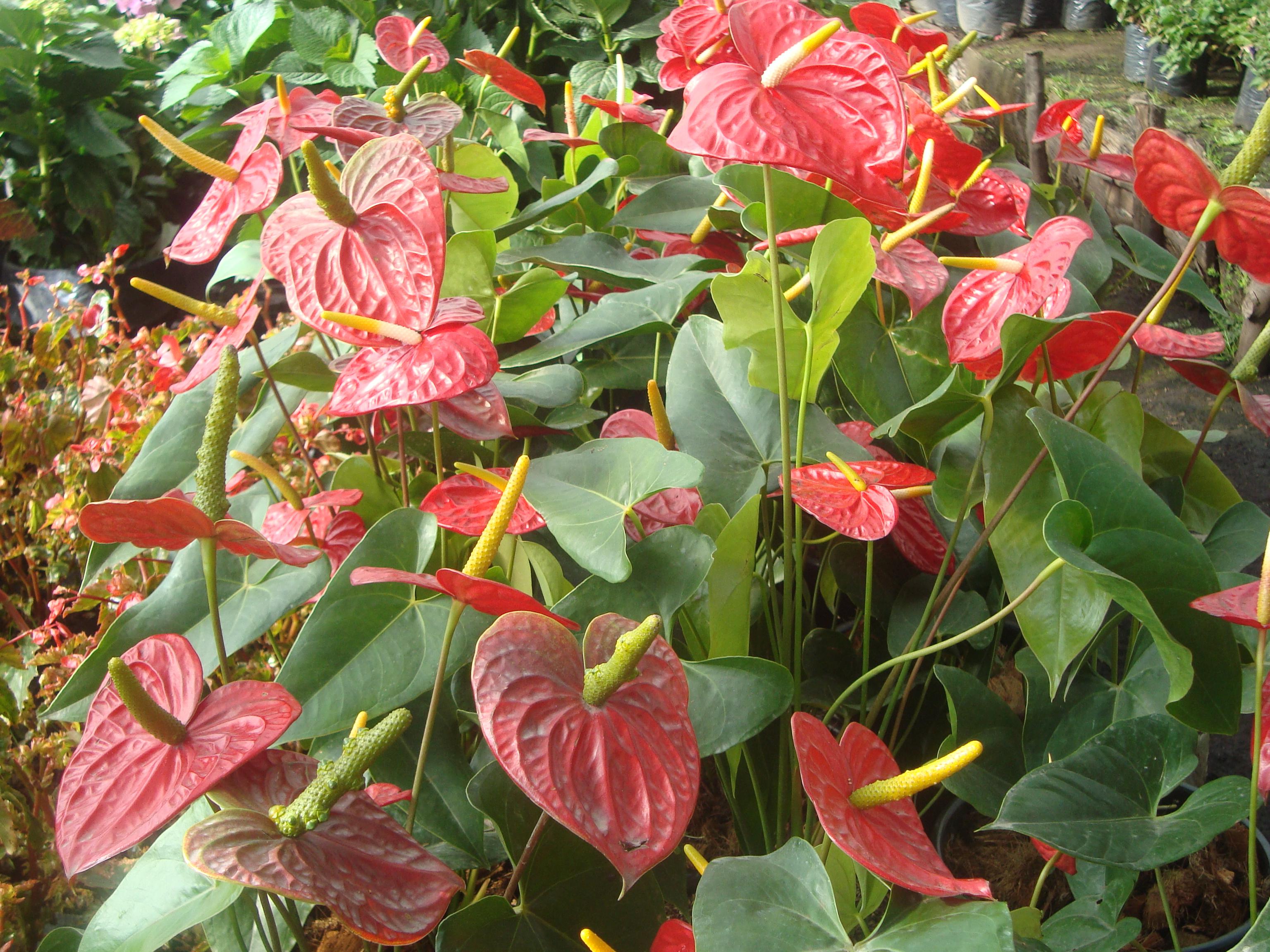 Plantas Cayenas