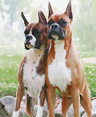 Our first two show Boxers