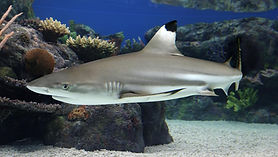 blacktip-reef-shark.jpg