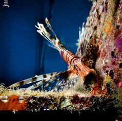 Lionfish in staircase