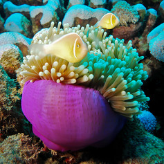 Anemone, a fishs home
