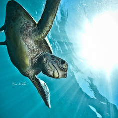 Sunburst Green Seaturtle