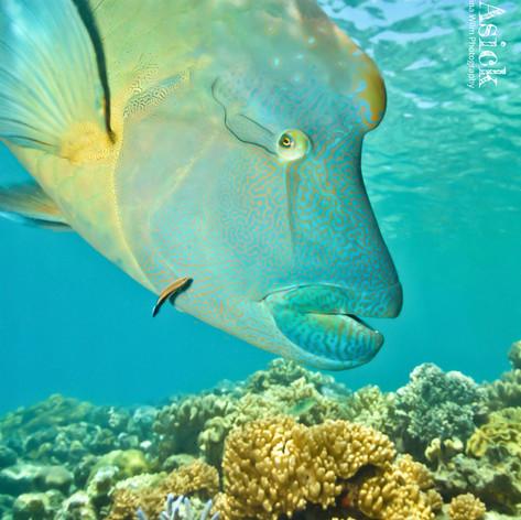 """""""Wally"""" the Napoleonfish"""