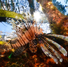 Lionfish in the sun
