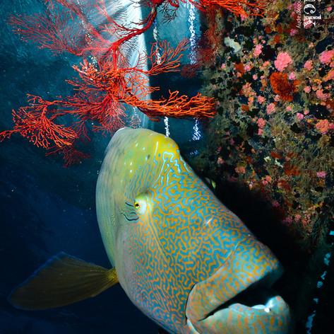A Napoleonfishs Home