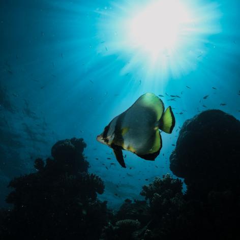 Batfish in the daylight
