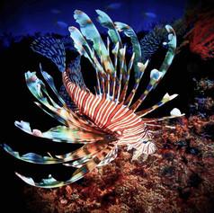 A Lionfishs colours