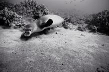 Hawaiian Monk Seal over Sea Floor (SC-1096)