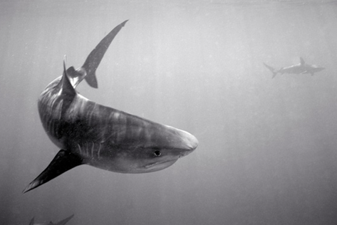 Tiger Shark, Galapagos Shark in Background (SC-1259)
