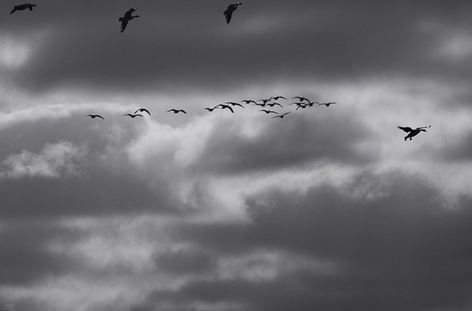 Approaching Canada Geese (FL-81)