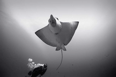 Diving with Eagle Ray (SP-09)