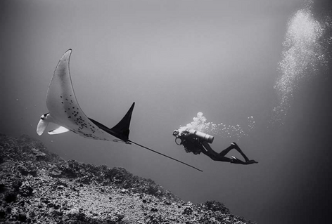 Diving with Manta Ray (SP-141)