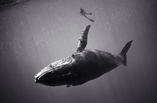 Swimmer with Humpback Whale (SC-403)