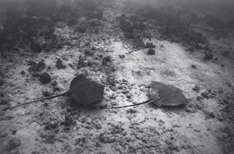 Mating Hawaiian Sting Rays Sequence #1 (SC-1510)