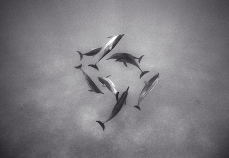 Pattern of Spinner Dolphins (SC-516)