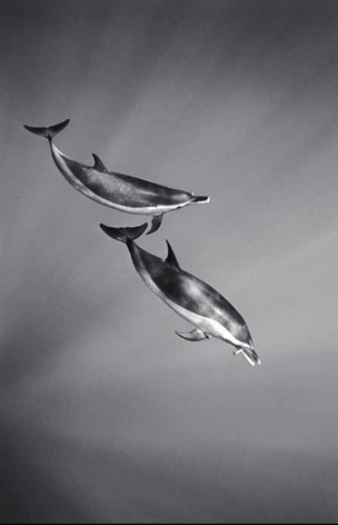 Spotted Dolphins Eating Fish (SC-628)