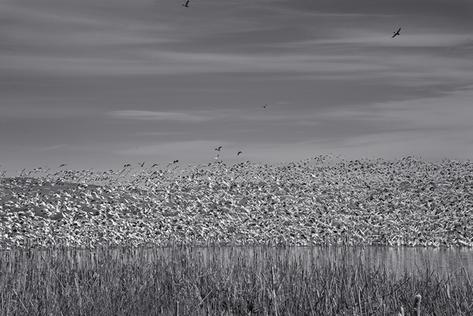 Rising Snow Geese (FL-02)