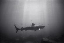 Tiger Shark in Sun Rays (SR-110)
