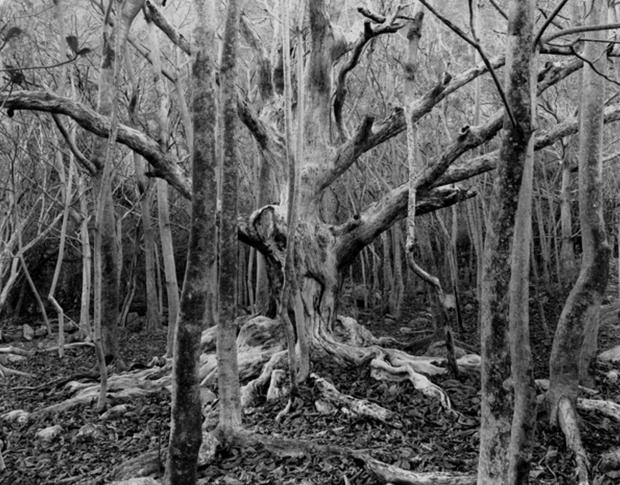 Old Kamani Tree, Baldwin Home, Kalaupapa, Hawaii, 1984 (KAL-103)