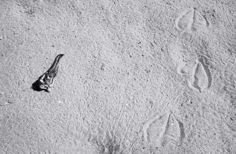 Albatross Remains and Footprints, Laysan (NWB-09)