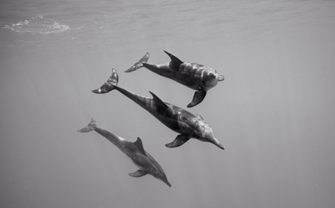 Approaching Rough Toothed Dolphins (SC-1093)