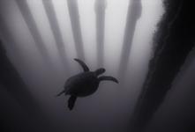 Turtle under Pier, Midway Atoll (SC-110)