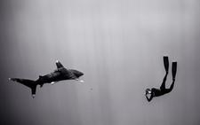 Freediver Photographing Oceanic Shark, Hawaii (SC-275)