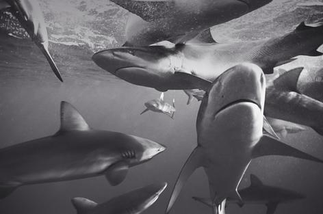 Galapagos Sharks Feeding (SC-1211)