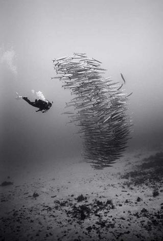 In Deep Water with Heller's Barracuda (SP-152)