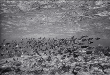 Surgeonfish Patterns (SR-535)